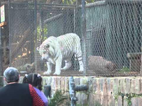 Tigre blanco se come paloma en Zoologico de santiago