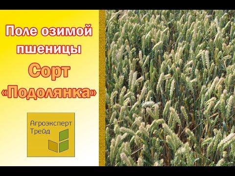 Сорта пшеницы -