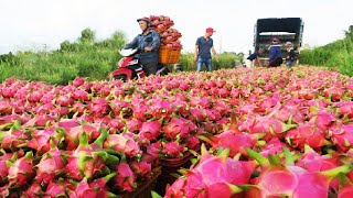 Asian Dragon fruit Farṁing and Harvest - Dragon fruit cultivation and process in Factory