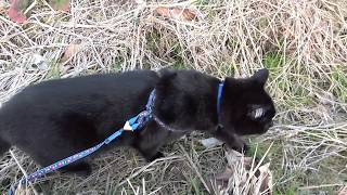 クロちゃん 初めて田んぼを散歩する
