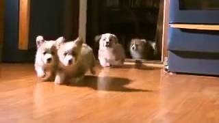 5 Little Welsh Corgi Pembroke Puppies