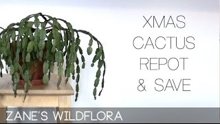 How to save and repot a Christmas Cactus