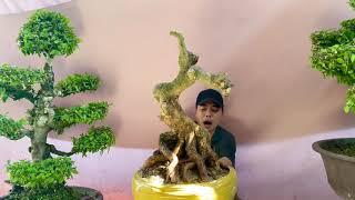 Lô mai bonsai VIP bông đẹp 9/12/19