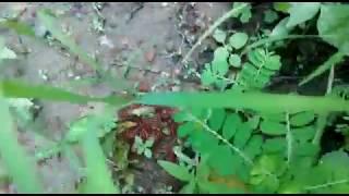 Gambar cover Redish brown Milllipede small baby (Kenno)belongs to phylum Arthropoda