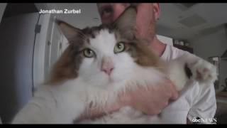 最重的貓28磅Samson