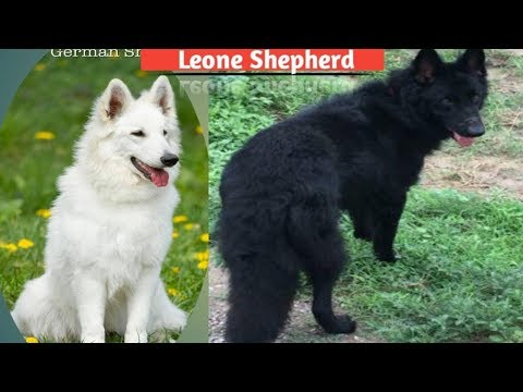 Black and white German shepherd puppies for sale