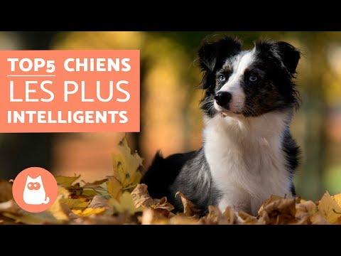 Les chiens les plus intelligents - TOP 5 des chiens les plus malins