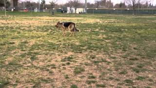German Shepherd Trying To Hunt Another Dog