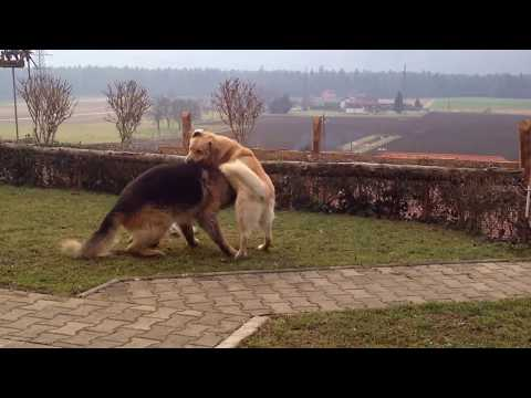 German Shepherd fights Labrador HD