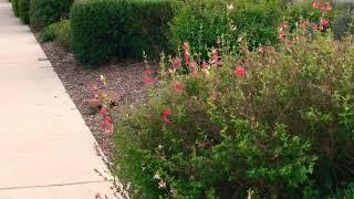 Hummingbird minute