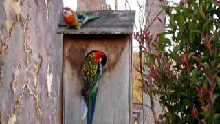 Eastern Rosella Family