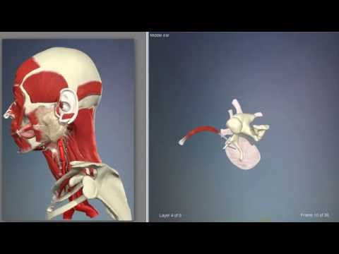 Middle ear muscles   3D Human Anatomy   Organs