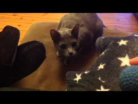 Candy our Korat cat, playing fetch
