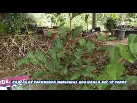 Carlos de Ecohuerta medicinal nos habla del cultivo del te verde Camelia sinensis