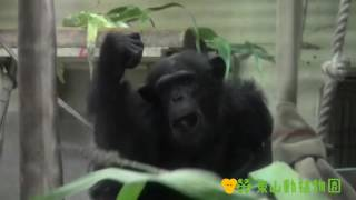 チンパンジーに、ソルゴーというイネ科の植物を与えています。 食べ方に...