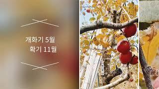 [세계로농원] 사과중 최고! 엔부사과