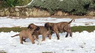 купить щенка Фила Бразилейро (Fila Brasileiro)