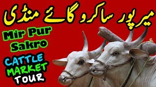 Mir Pur Sakro Mandi | Cattle & Dairy Livestock Market Visit | Rates & Updates With Ijaz Riaz Mastoi