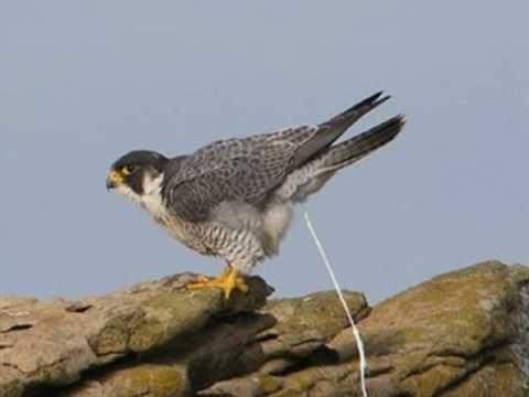o majestoso falcão peregrino the peregrine falcon youtube