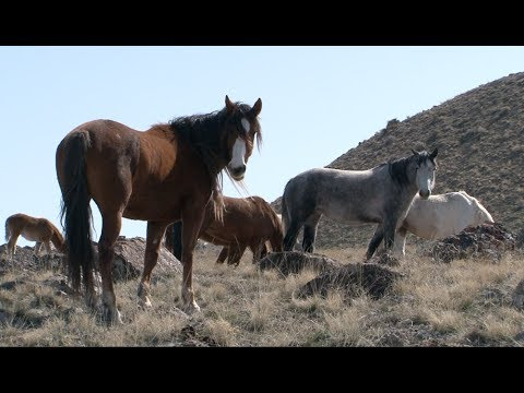 The Story of America's Wild Horses and Burros