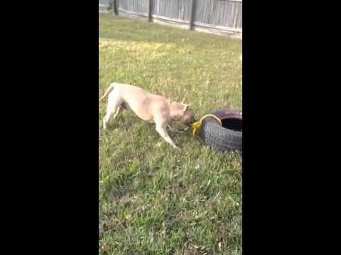 Pit bull titan pulling tire youtube pit bull titan pulling tire sciox Images