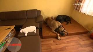Ravis - Der größte Hund Berlins