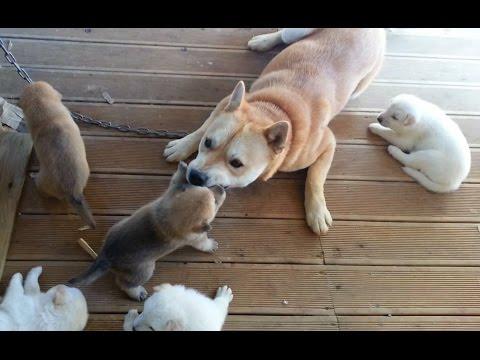 [4] 아빠 진돗개의 어설픈 육아기술 / Papa dog's Parenting skill