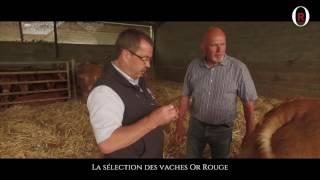 La sélection des vaches Or Rouge