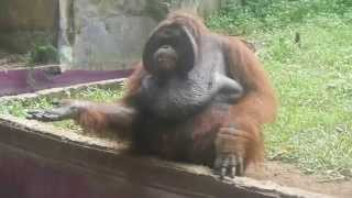 orangutan spit watermelon's seed and throw banana's peels