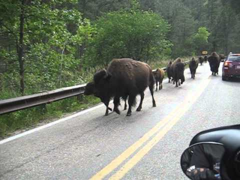 Close encounter with a wild buffalo herd!