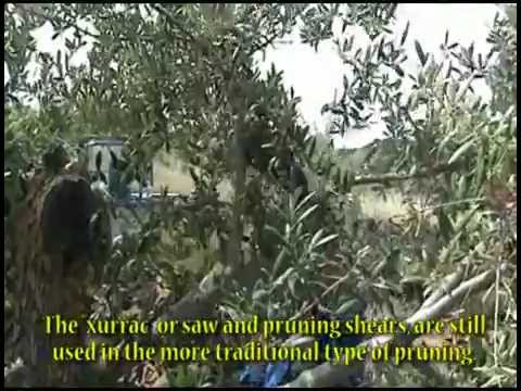 How to make Extra Virgin Olive Oil  COOPERATIVE SOLERAS Garrigues - Lleida