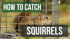 How to Catch a Squirrel with a Live Animal Trap