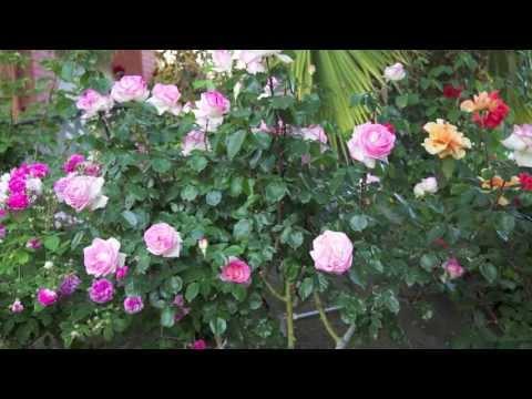Fantastic Rose Garden in Full Bloom 2013