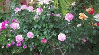 Fantastic Rose Garden in Full Bloom 2013