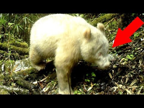 Albino Panda Theindiansubcontinent Search