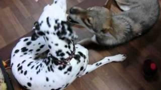 わんわん洋裁教室の四国犬とは大変仲が良いです!