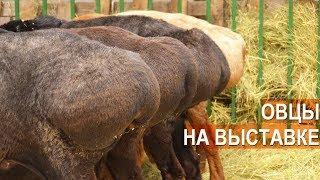 Овцы разных пород. Выставка Золотая Осень-2017. ВВЦ. Москва