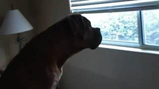 6 Month Old Dogue De Bordeaux On Guard
