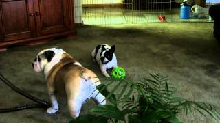 Buttons Boston Terrier Shows Baxter English Bulldog Who Is Boss