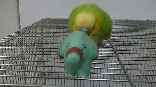 おしゃべりインコのピッピ動画です。 今日のピッピはゴマゾウにヘッドバ...