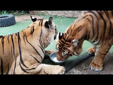 Do tigers share ?
