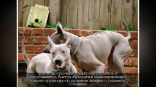 Тайский риджбек  Крупные породы собак