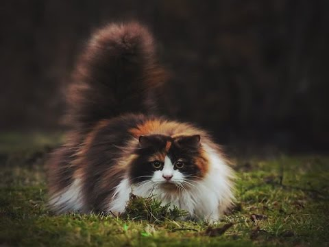 Norwegian Forest Cat Breed | Beautiful Norwegian Forest Cat and Important Information