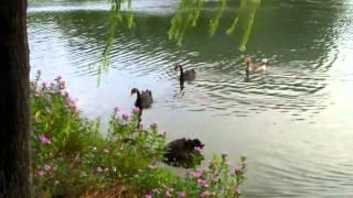 厦大芙蓉湖里的黑天鹅