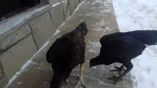 Bojowce Shamo-karmienie kur