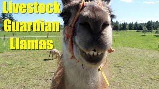 Livestock Guardian Llamas
