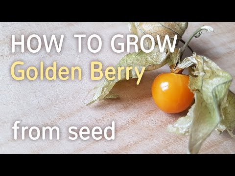 How To Grow Golden Berry From Seed | Starting Physalis Peruviana - 27.01.2017