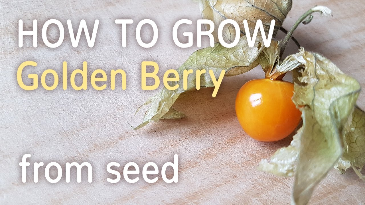 How To Grow Golden Berry From Seed | Starting Physalis Peruviana -  27 01 2017