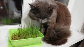 Трава для кота на подоконнике. Смешно ест!
