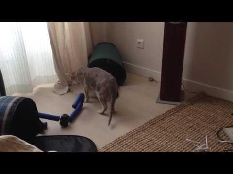 ориентальная кошка oriental cat
